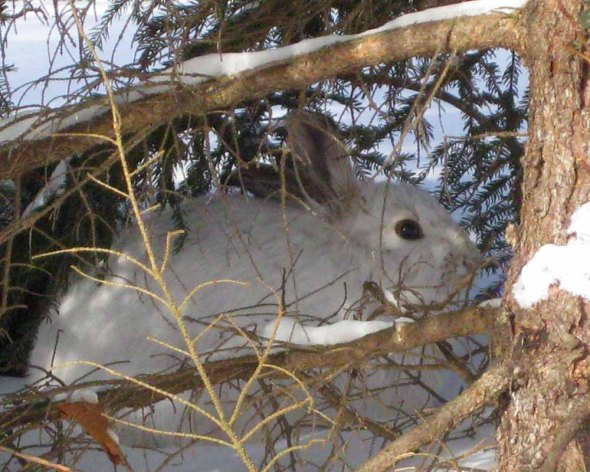 1-21-14 snowshoe hare by Patsy Fortney IMG_4140 (3)