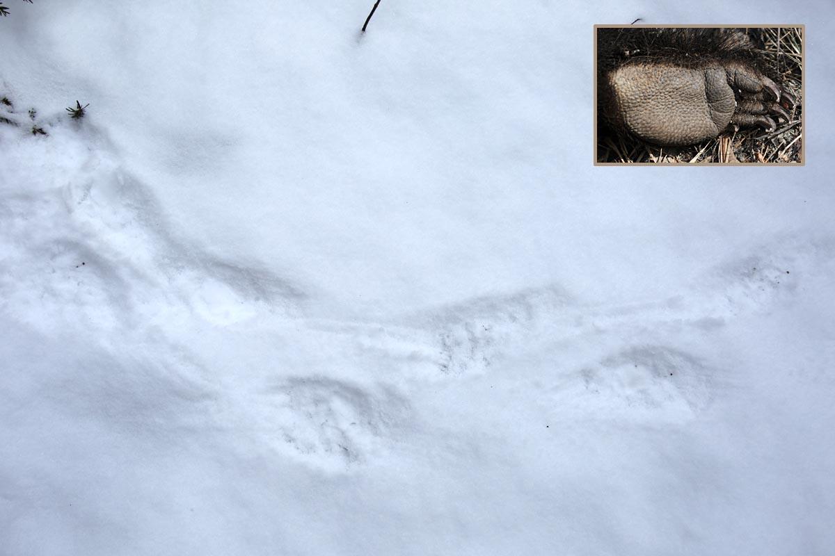 1-23-14 porcupine tracks 014