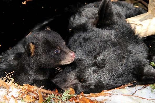 1-27-14 black bear cubs IMG_0391