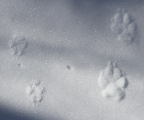 1-29-14 red fox and coyote tracks IMG_2095