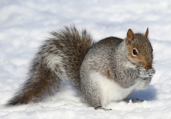 1-3-14 gray squirrel2 029