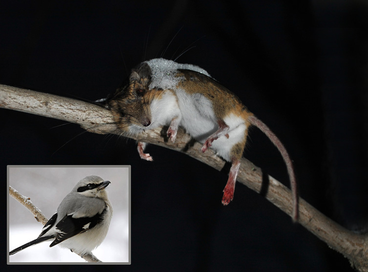 1-3-14 impaled mouse & MS shrike by Bridie McGreavy DSC_0146
