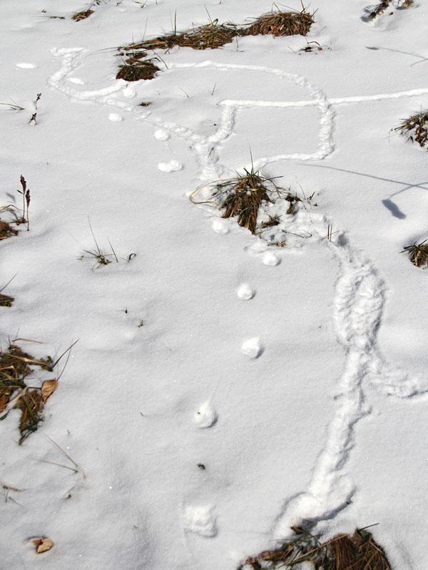 1-9-14  hide and seek-fox & vole IMG_2735