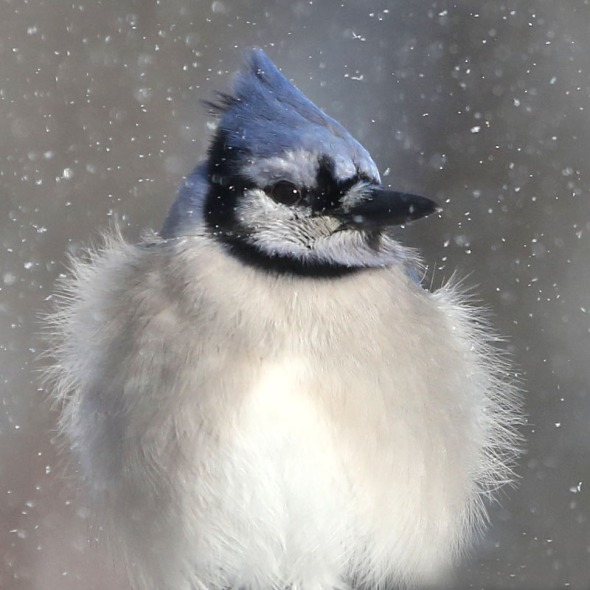blue jay puffed out in snow 101