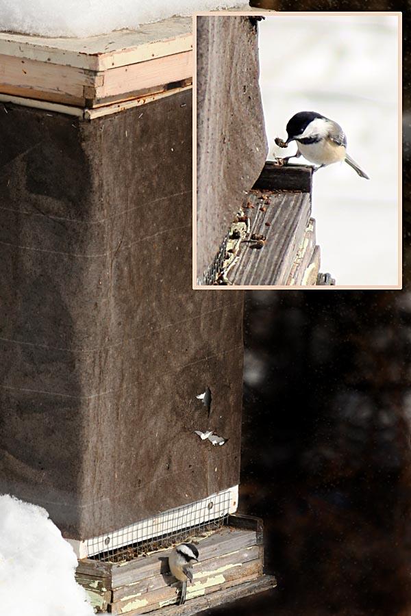 2-10-14 chickadee & bee33 174