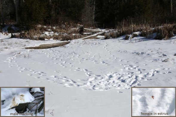 2-18-14 coyote breeding season2  067