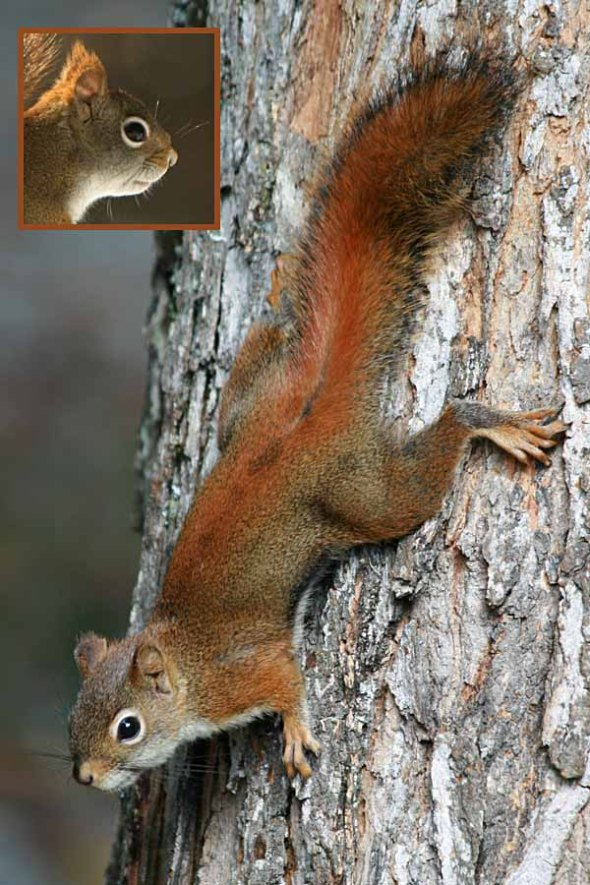 2-20-14 winter red squirrel IMG_0220