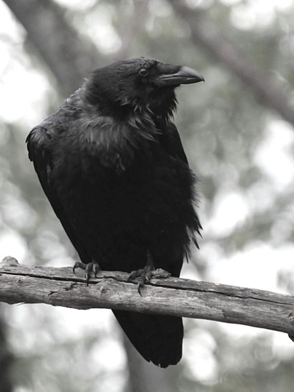 2-24-14 common raven IMG_2002