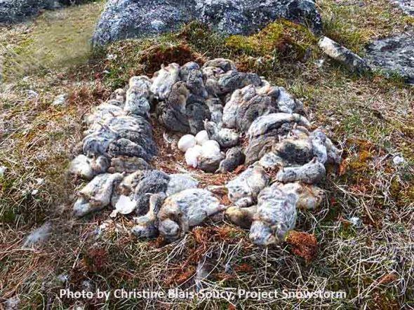 2-4-14 lemmings-at-nest4