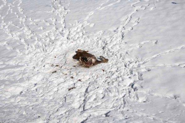 deer carcass2  028