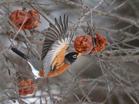 robin eating rotting apple 782