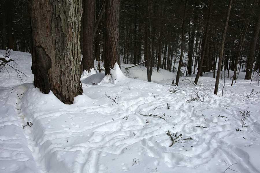 white-tailed deer and nip twigs 008