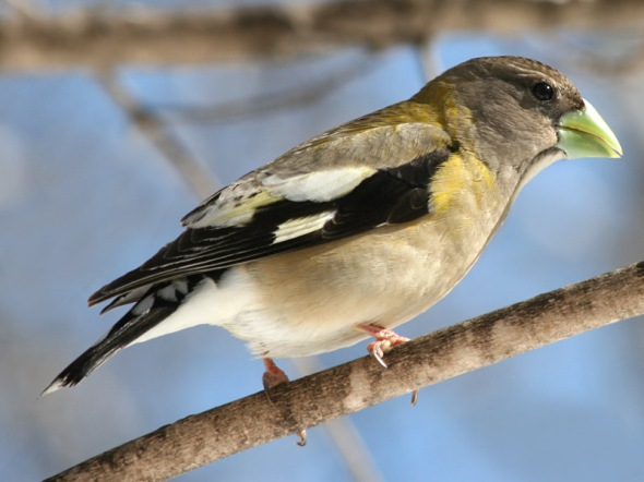 3-10-13 evening grosbeak female IMG_0734