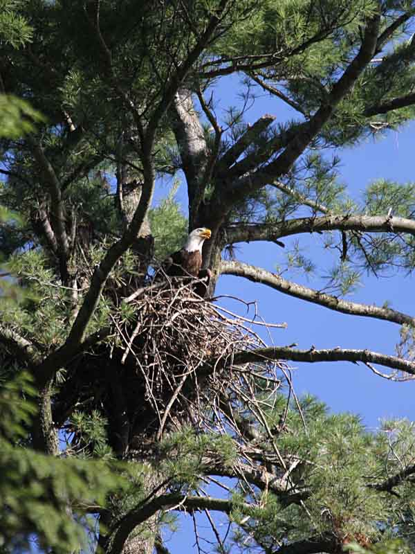 3-13-14 bald eagle on nest IMG_8514