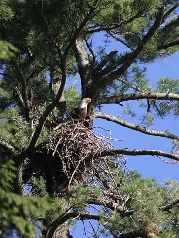 3-13-14 bald eagle on nest IMG_8514