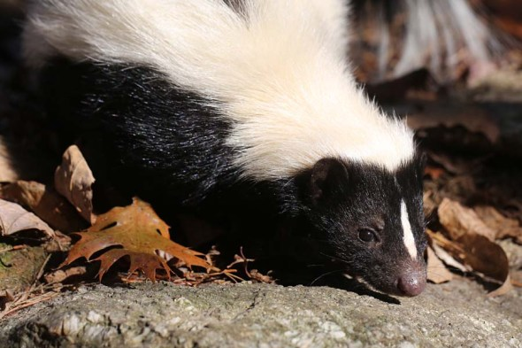3-14-14 striped skunk 082