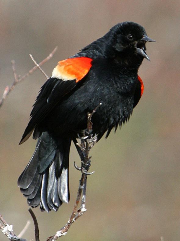 3-17-14 red-winged blackbird2 IMG_2063