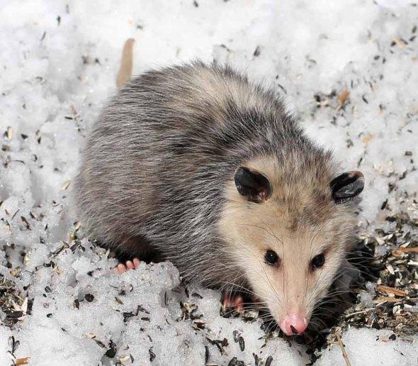 3-19-14 opossum2  021