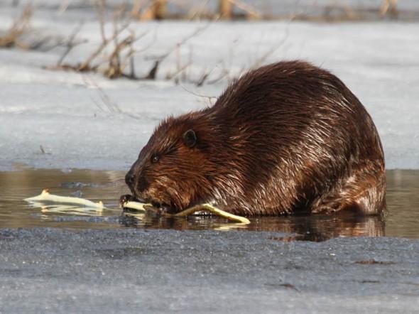 3-20-14 beaver on ice IMG_3980