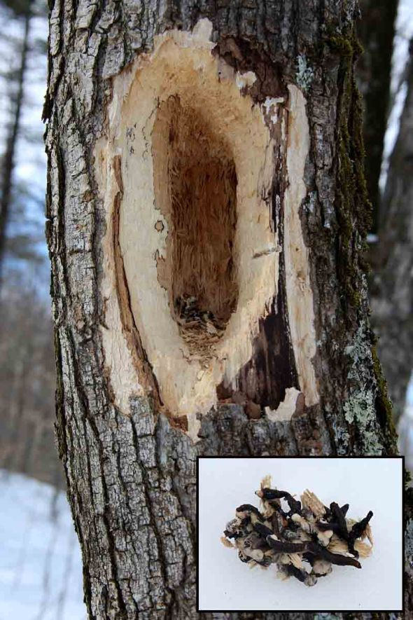 3-27-14  pileated hole with bird droppings 045
