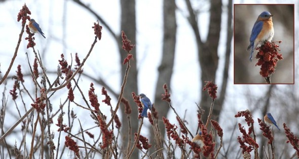 3-6-14 bluebirds on sumac 033