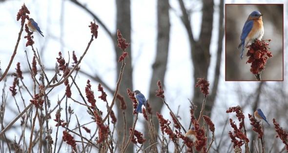 3-6-14 bluebirds on sumac 033