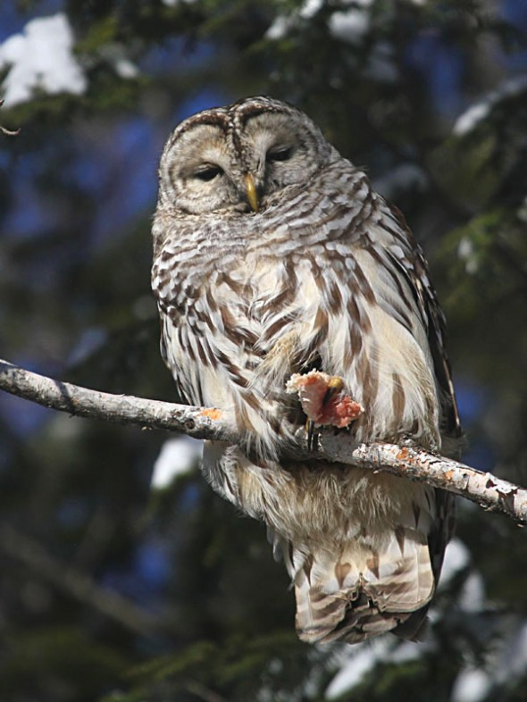 4-4-14  barred owl with suet IMG_5432