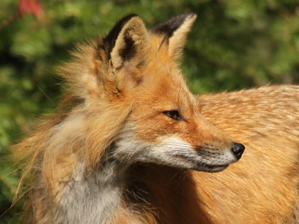 red fox IMG_4446