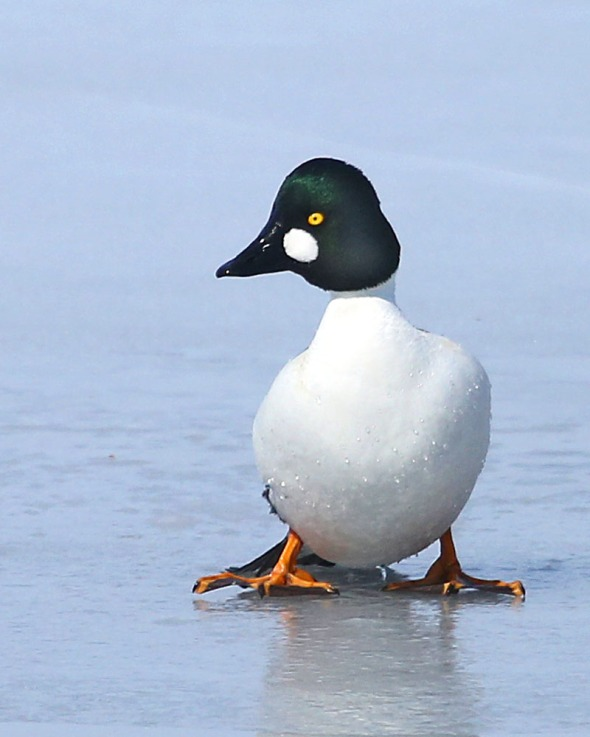 3-31-14 lone common goldeneye on ice 380
