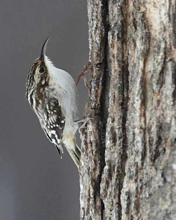 4-11-14 brown creeper2  025