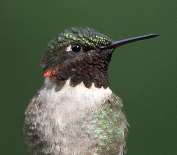 4-11-14 ruby-throated hummingbird IMG_9466
