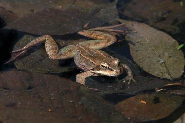 4-17-14 wood frog IMG_1377
