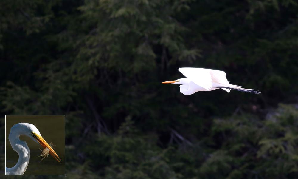 4-18-14 great egret2  055