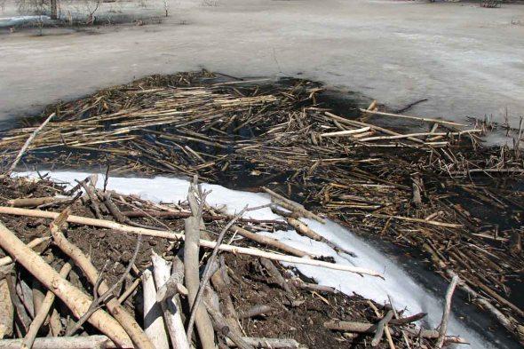 4-7-14  floating beaver logs IMG_0159