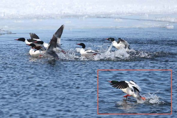 common mergansers pattering 425