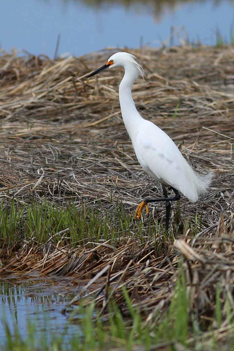 5-13-14  snowy egret3  300