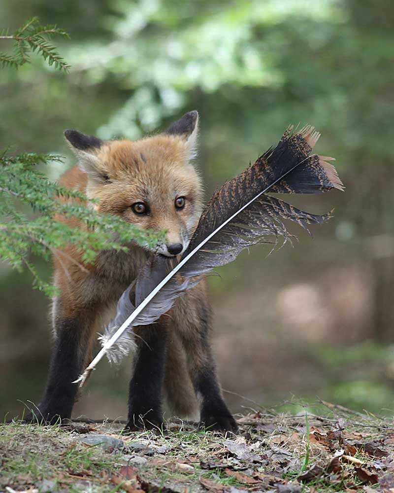5-14-14  red fox kit with turkey feather  147