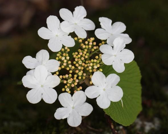 5-17-14 hobblebush flowers 070