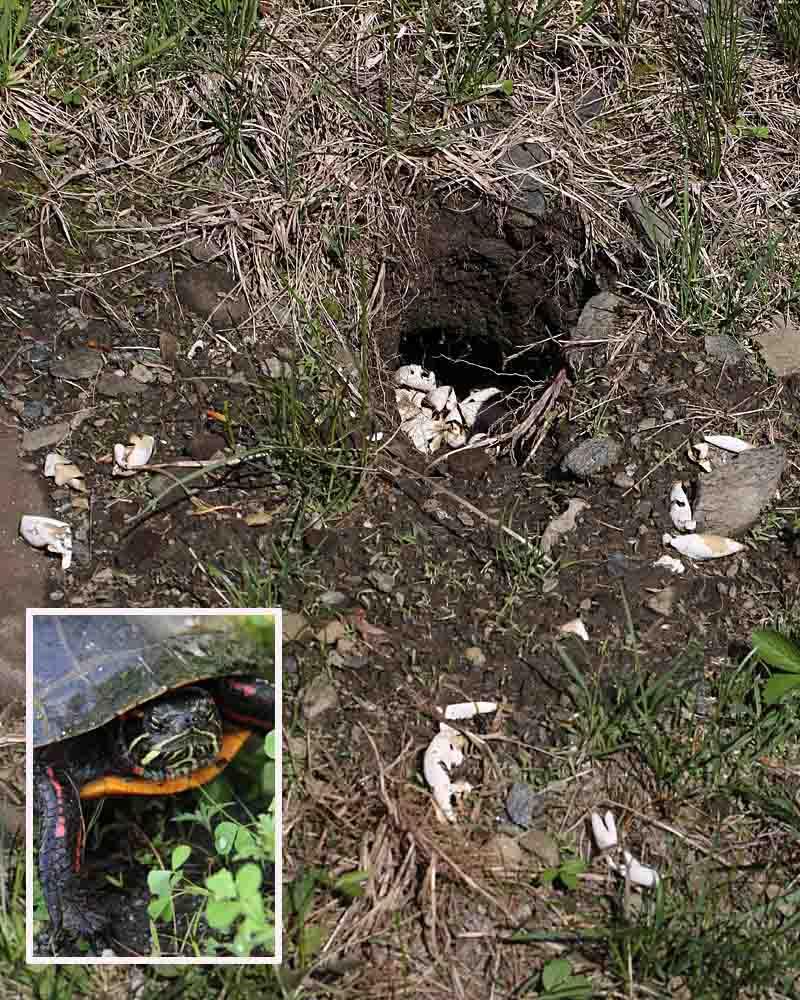 5-21-14 painted turtle nest 016