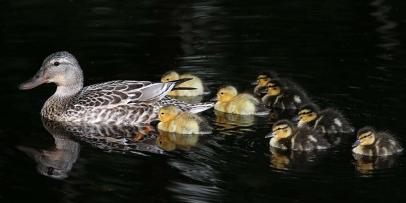 5-26-14 mallard & ducklings  470