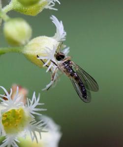 email-miterwort pollinator 197