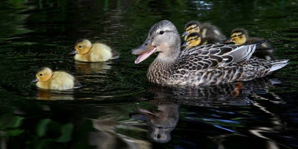 mallard & ducklings-quacking 552