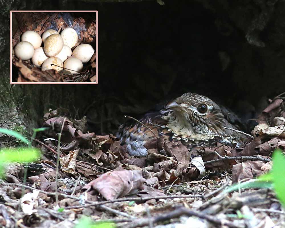 ruffed grouse on nest  020