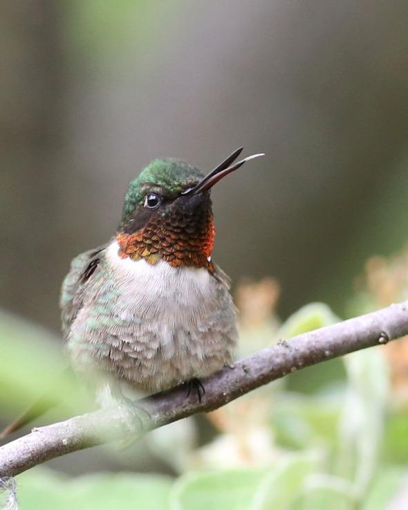 6-10-14 hummingbird tongue 045