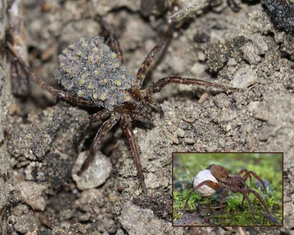 6-10-14 wolf spider & egg sac & babies IMG_7251