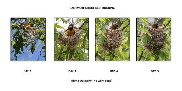 6-13-14  b.oriole nest