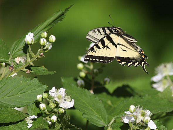 6-16-14 Canadian Tiger Swallowtail