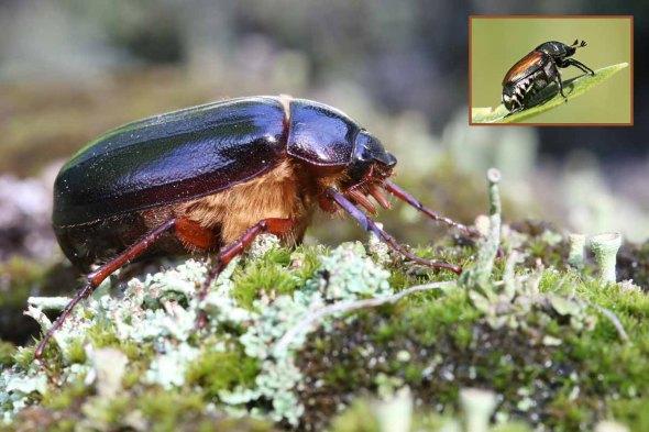 6-16-14  scarab beetle antennae 261