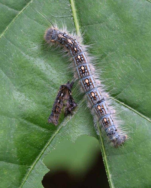 6-25-14 caterpillar molting 044