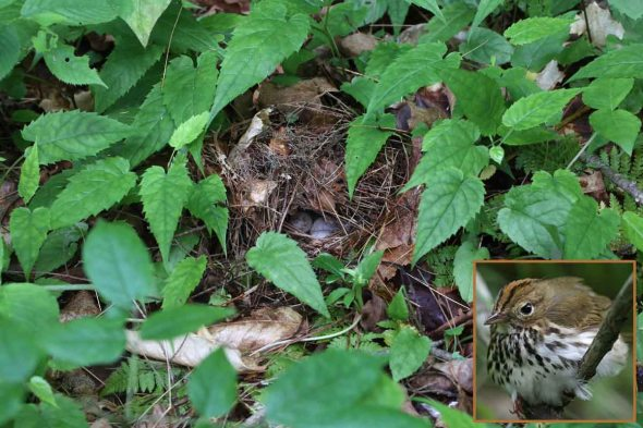 6-27-14 ovenbird nest2  071